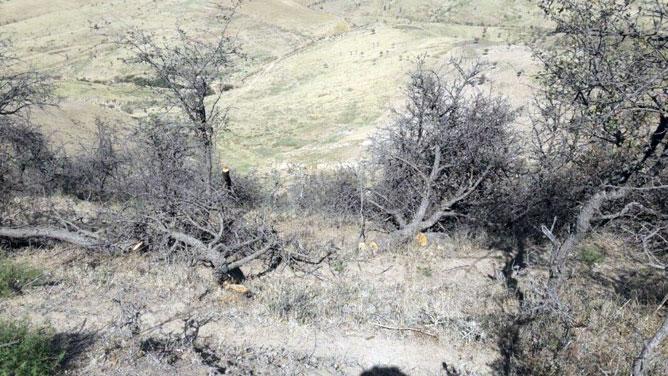 За вырубку боярышника дровосеки заплатят солидный штраф и возместят ущерб природе