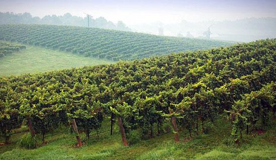 Промышленных виноградников станет на 2815 гектаров больше