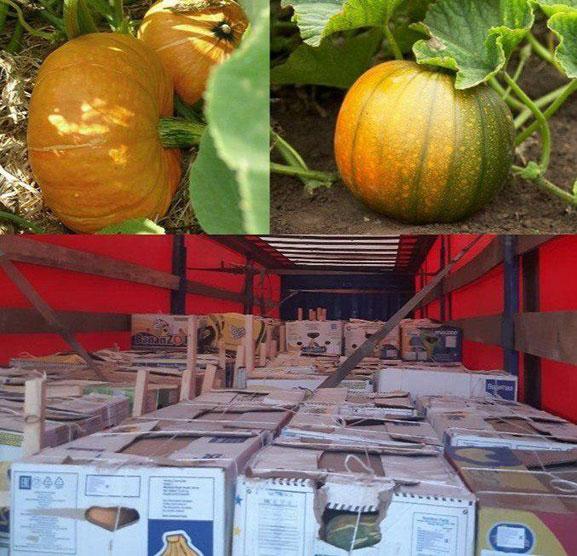 Кашкадарьинцы вслед за дынями и арбузами начали экспортировать и тыкву