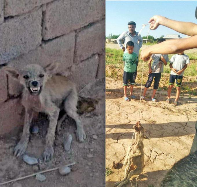 В Кашкадарье поймали хищника, убивавшего овец