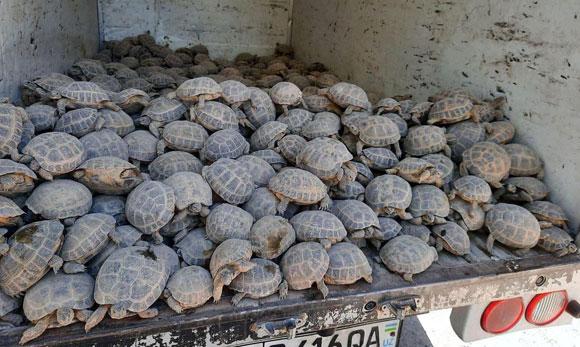 Браконьеры пытались вывести из региона 700 черепах