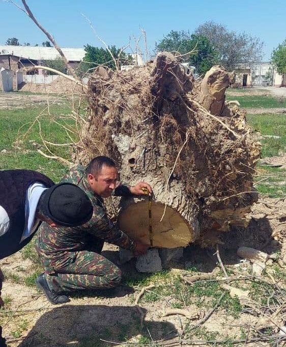 В Карши вырубили порядка 50 многолетних деревьев